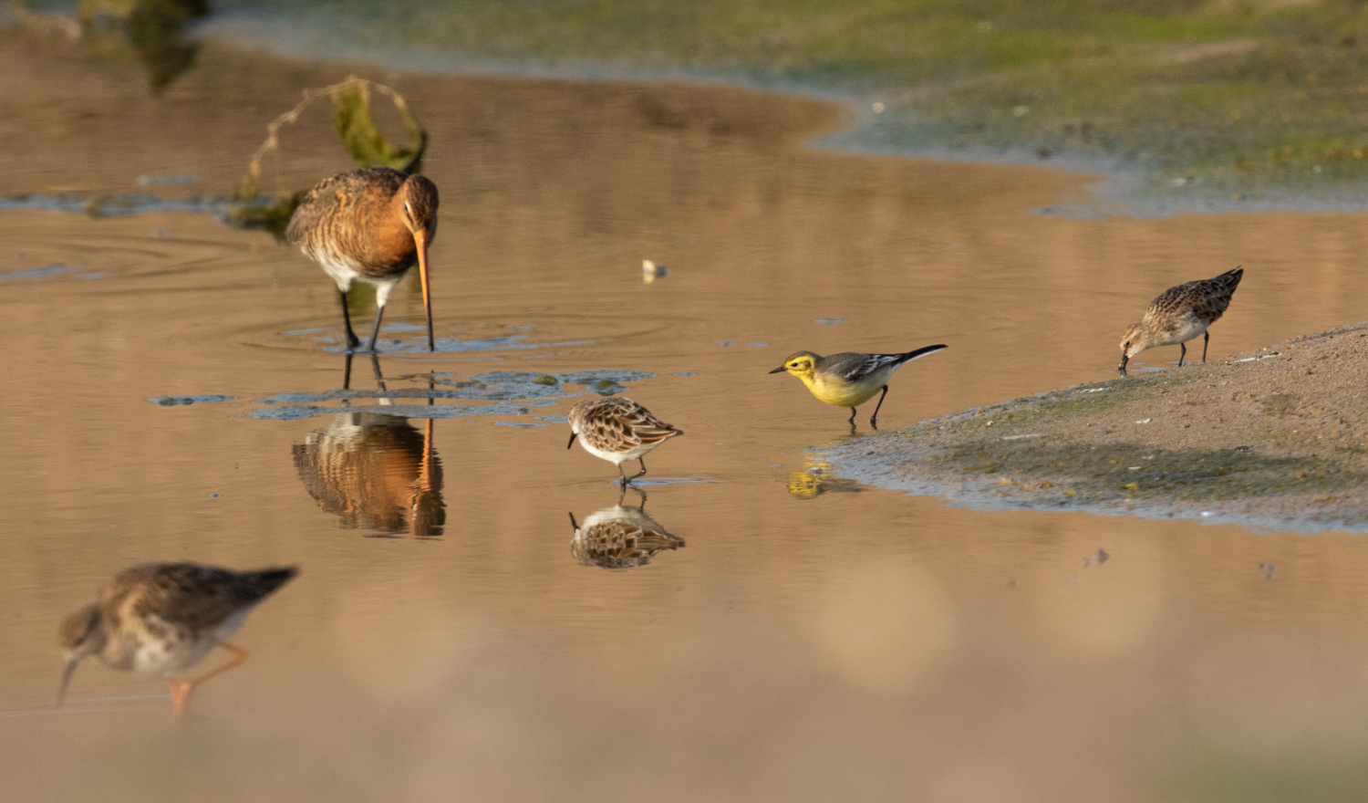 An excellent size comparison of Ruff, Black-tailed Godwit, Little Stint, with Citrine Wagtail as the yardstick.