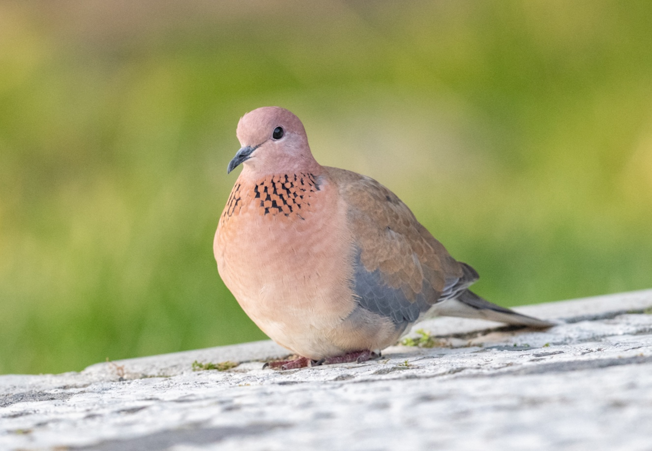 Laughing dove in the car park of the ruins