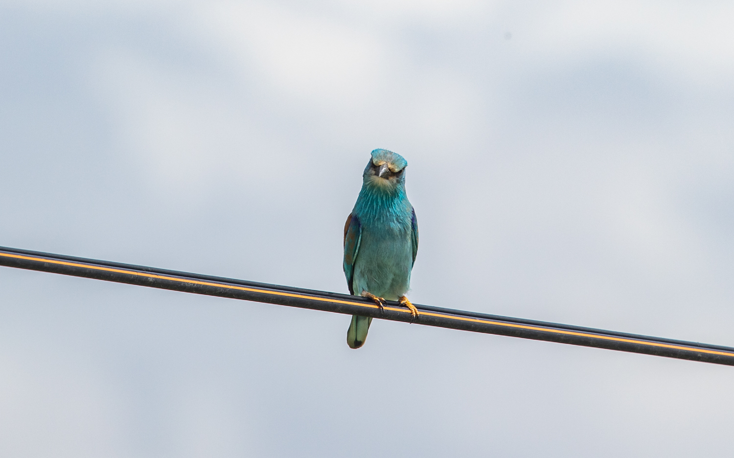 European Roller on way back to town