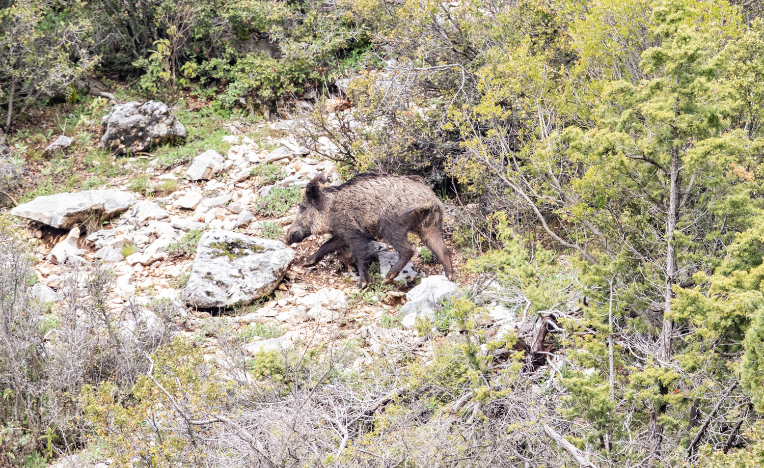 Huge wild boar that I spooked
