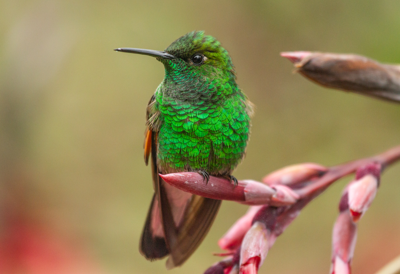 Copy of Stripe-tailed Hummingbird