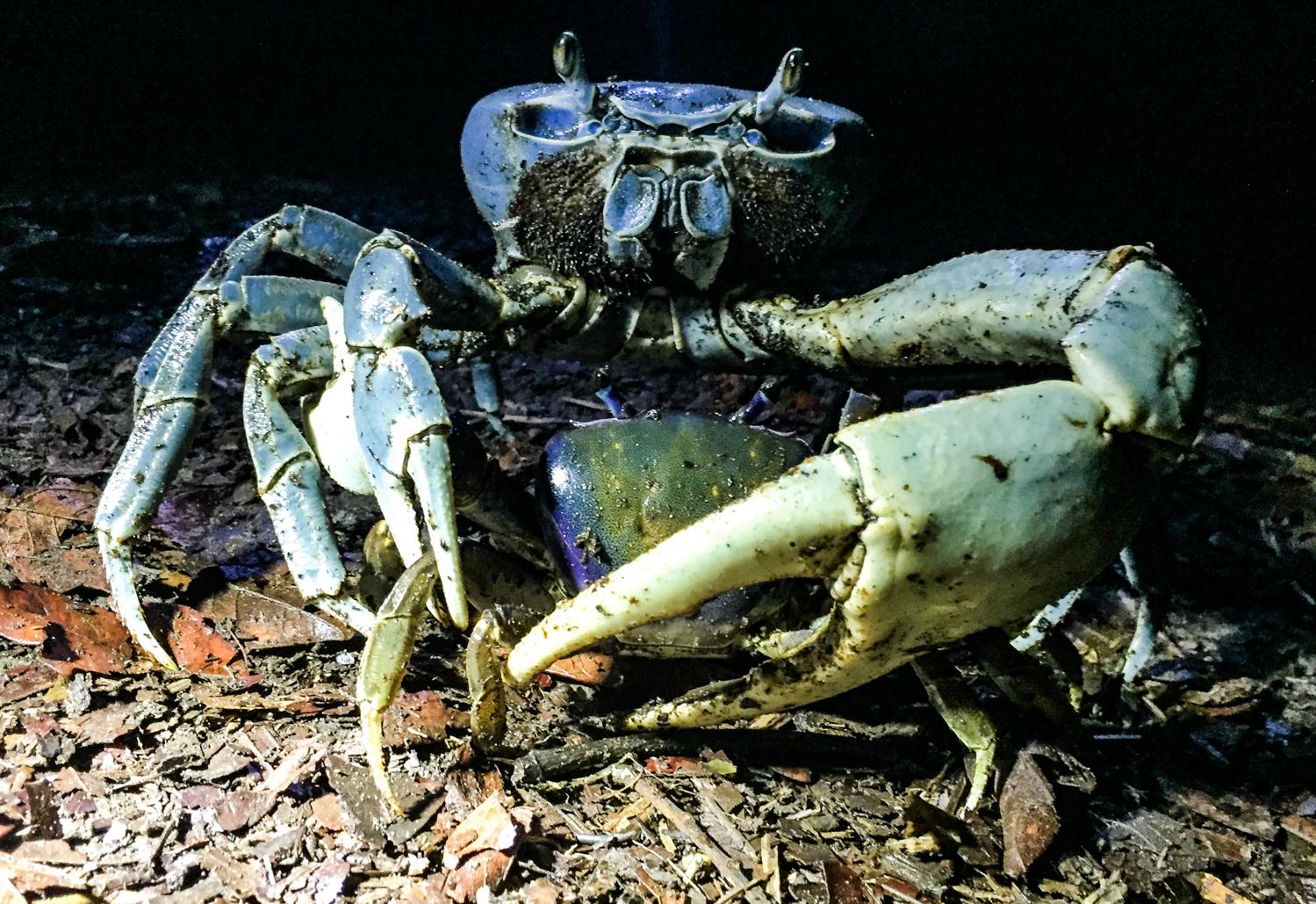 blue_land_crab_costa_rica.jpg