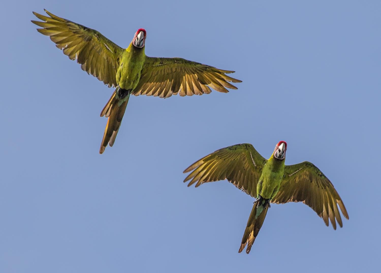 great_green_macaw_selva_verde_costa_rica.jpg