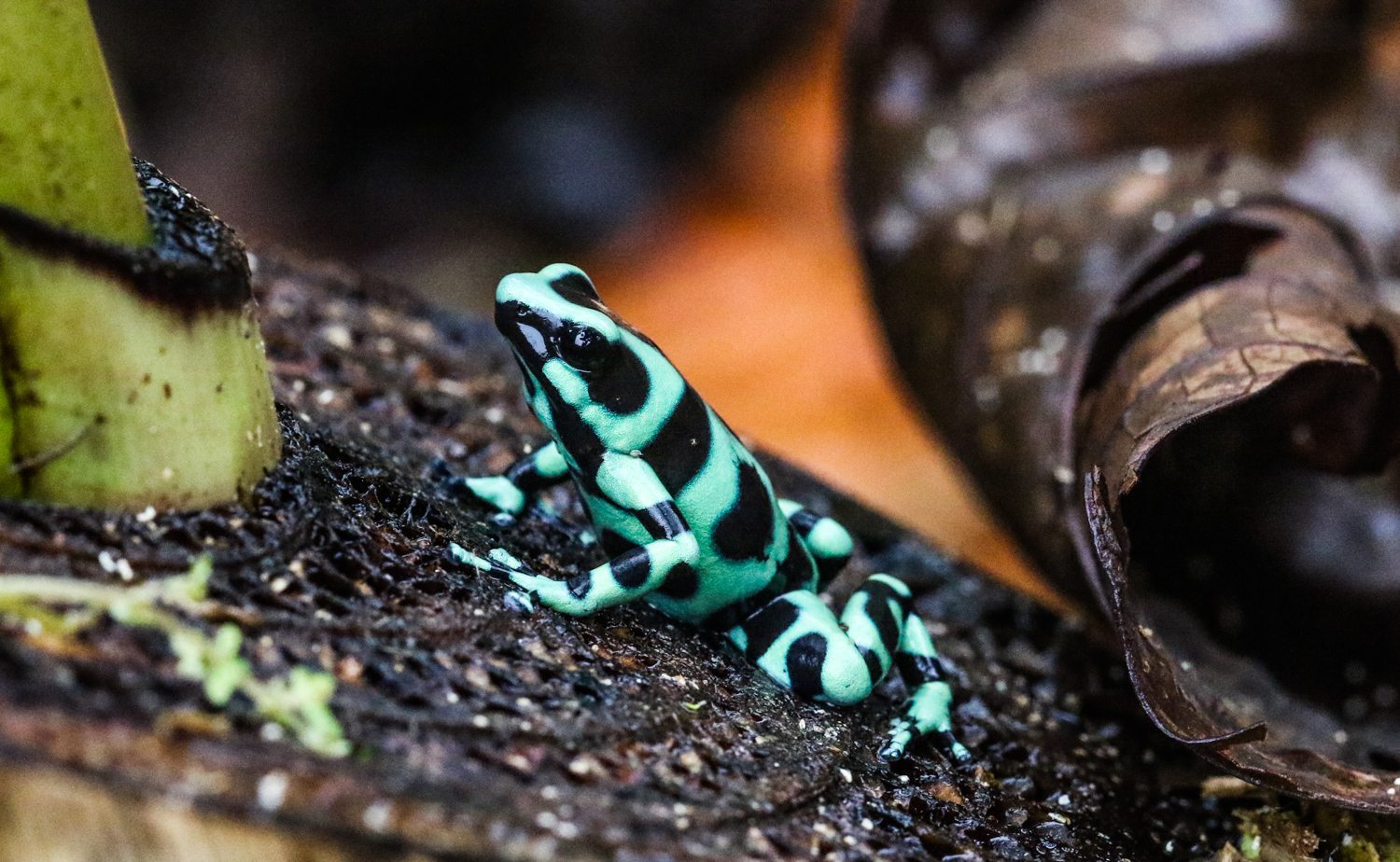 green_and_black_poison_dart_frog_costa_rica.jpg