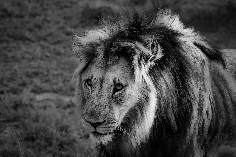 lion_pilanesberg4.jpg
