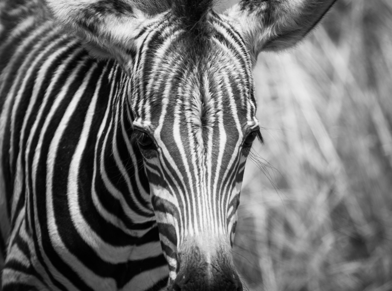 zebra_pilanesberg.jpg
