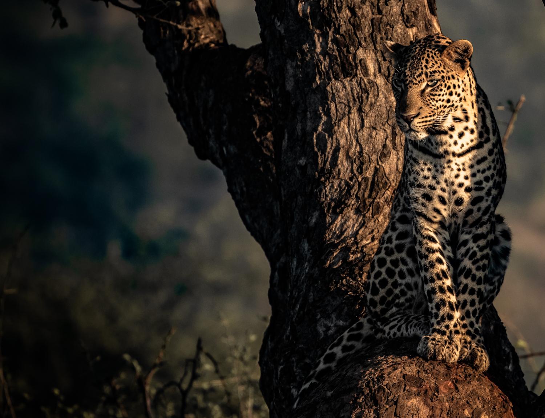 leopard_in_tree_pilanesberg_national_park.jpg