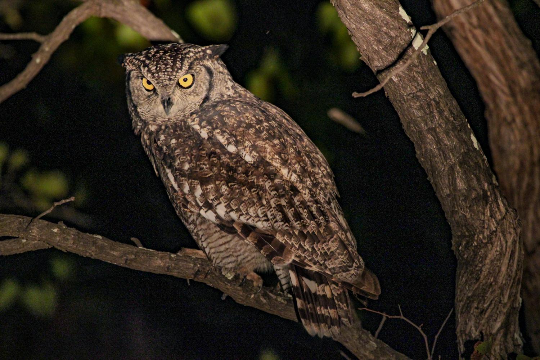 spotted_eagle_owl_kruger.jpg