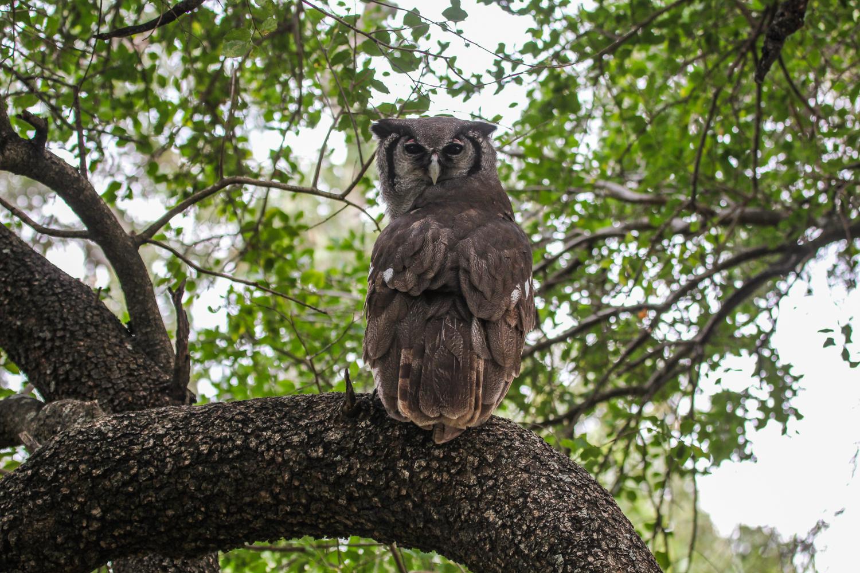 verreaux's_eagle_owl_kruger.jpg