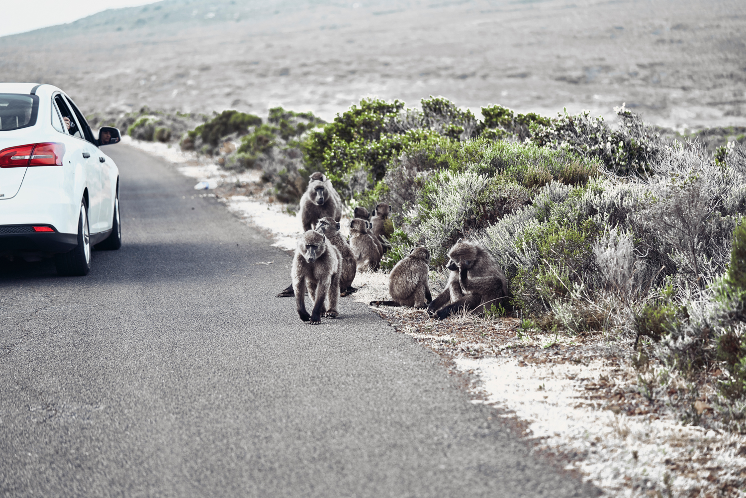 Baboons Cape Point