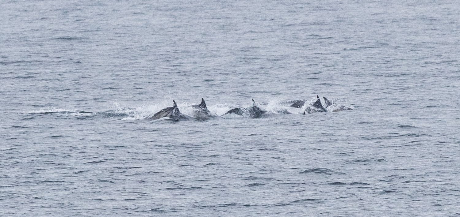 One of many dolphin pods