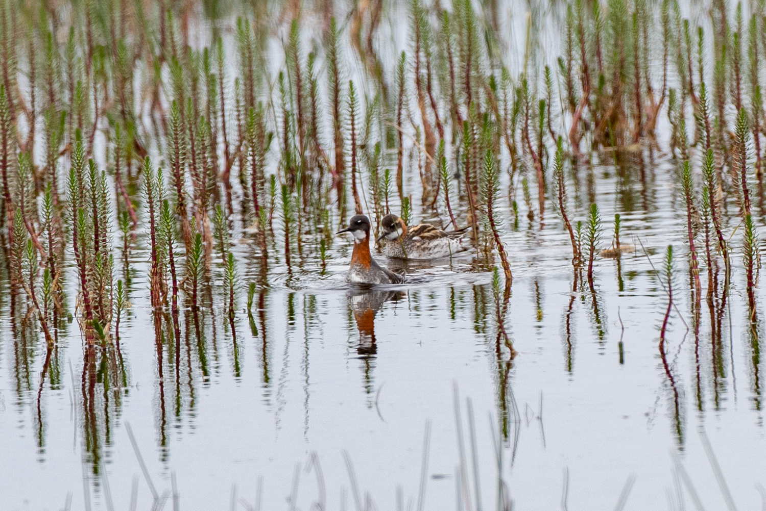 Female with male, Red-necked Phalarope