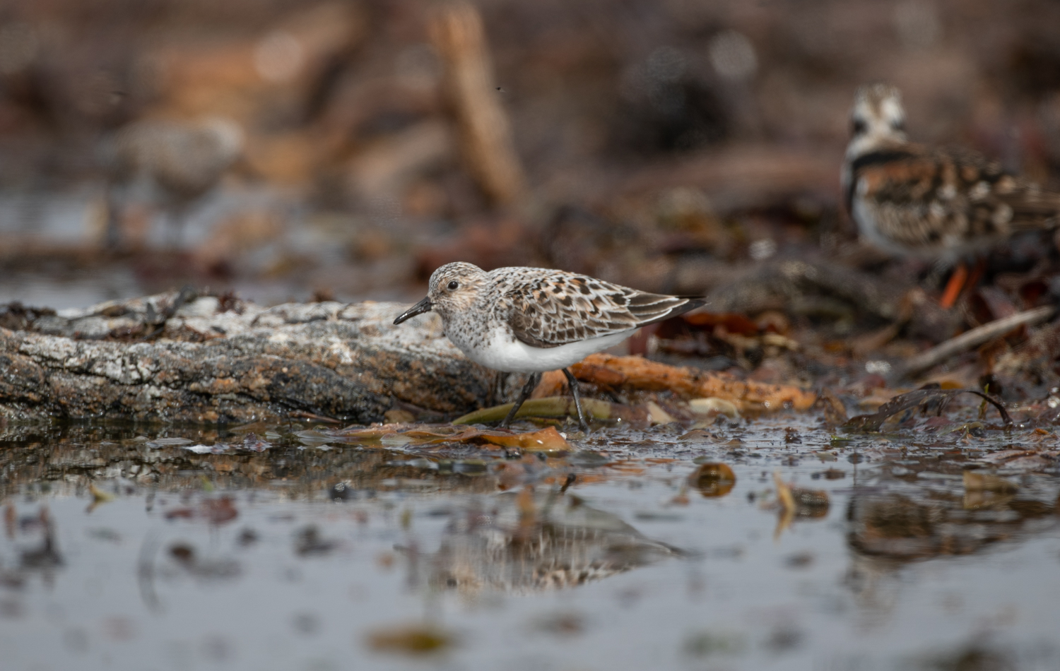 Sanderling, South Uist