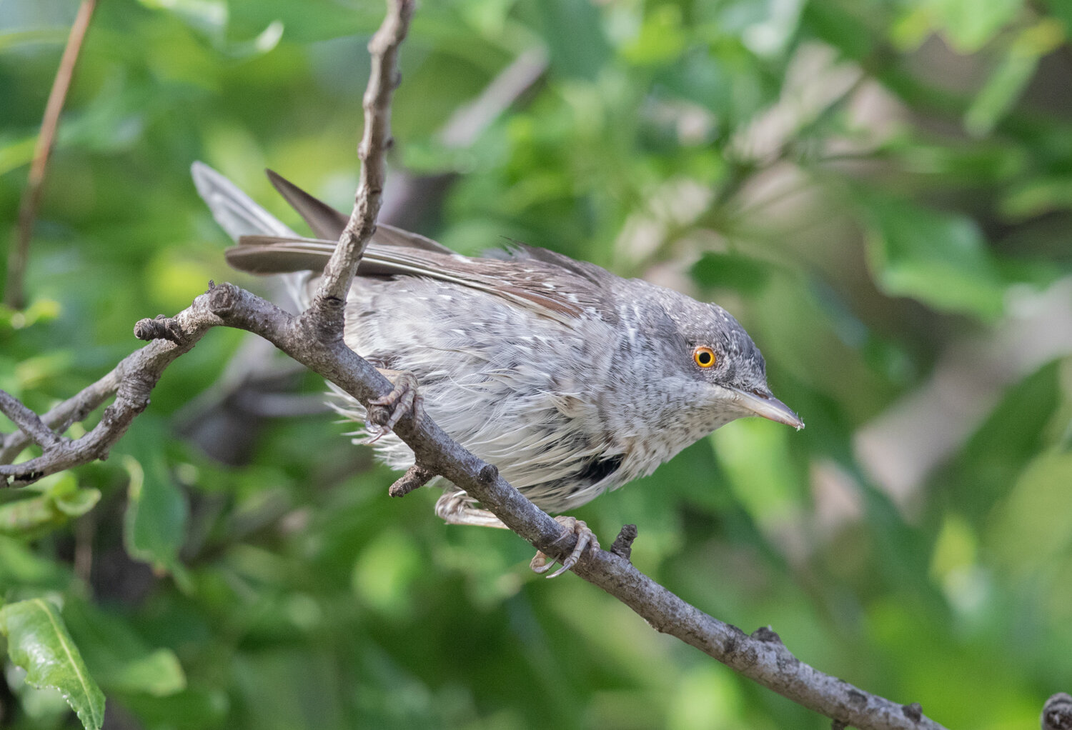 Barred Warbler, Side Ancient Ruins