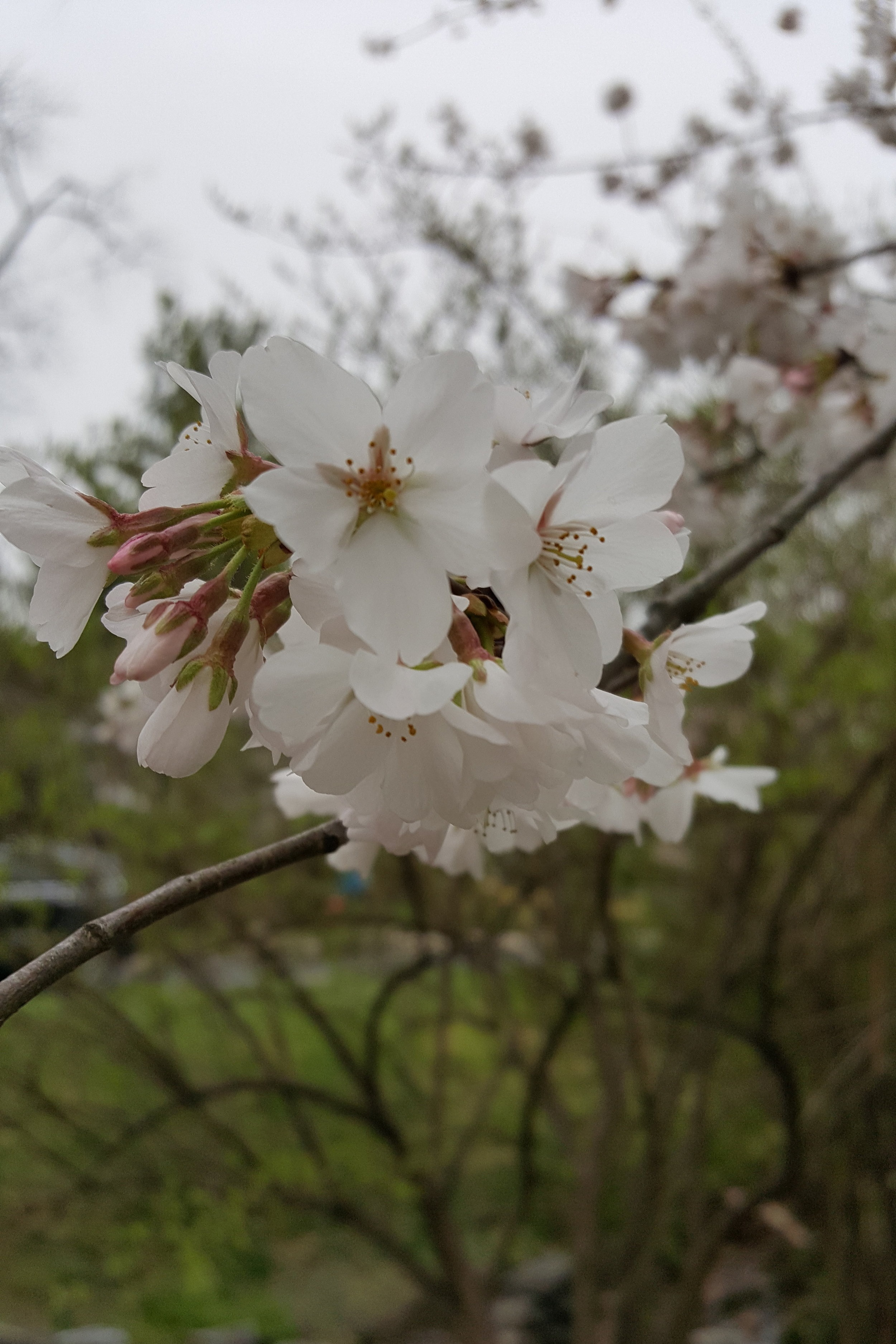 Cherry Blossom Season is Here! -