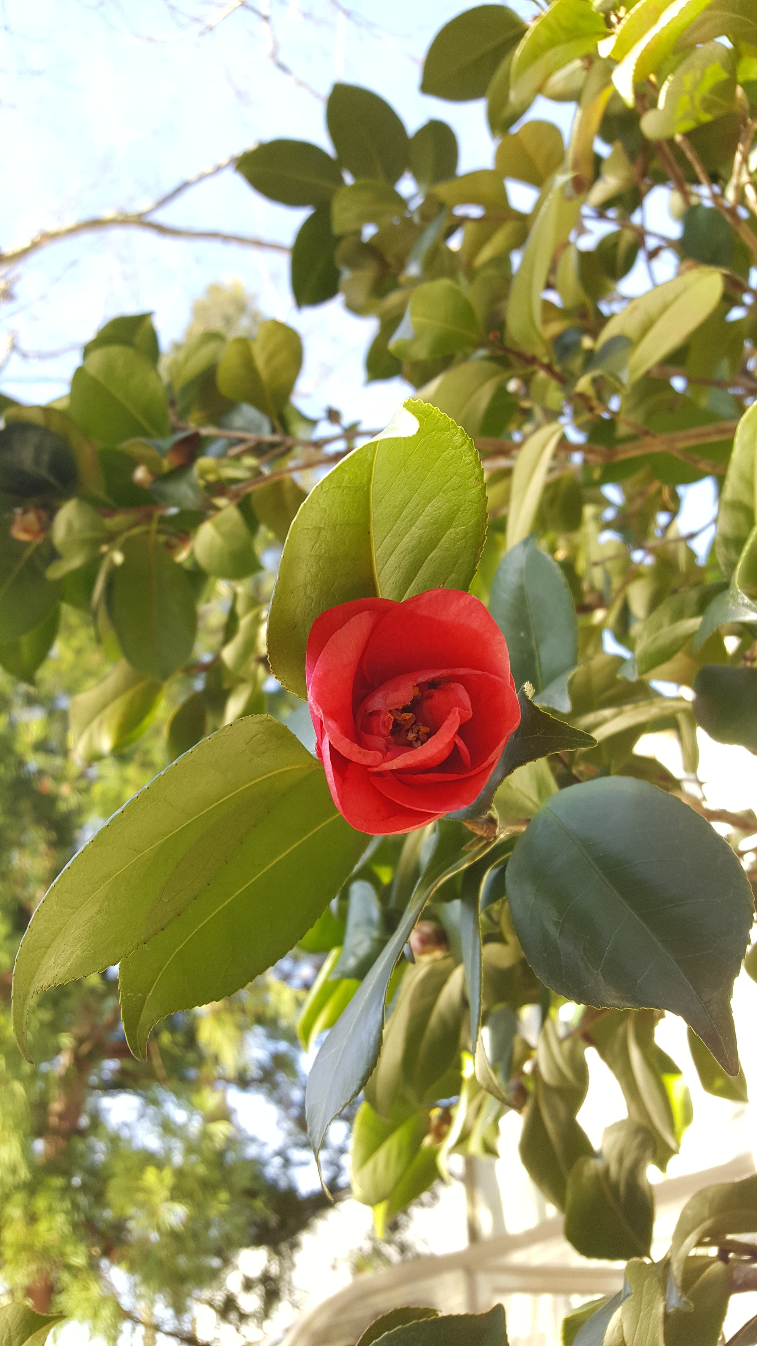 camillia japonica_3-24-2019.jpg
