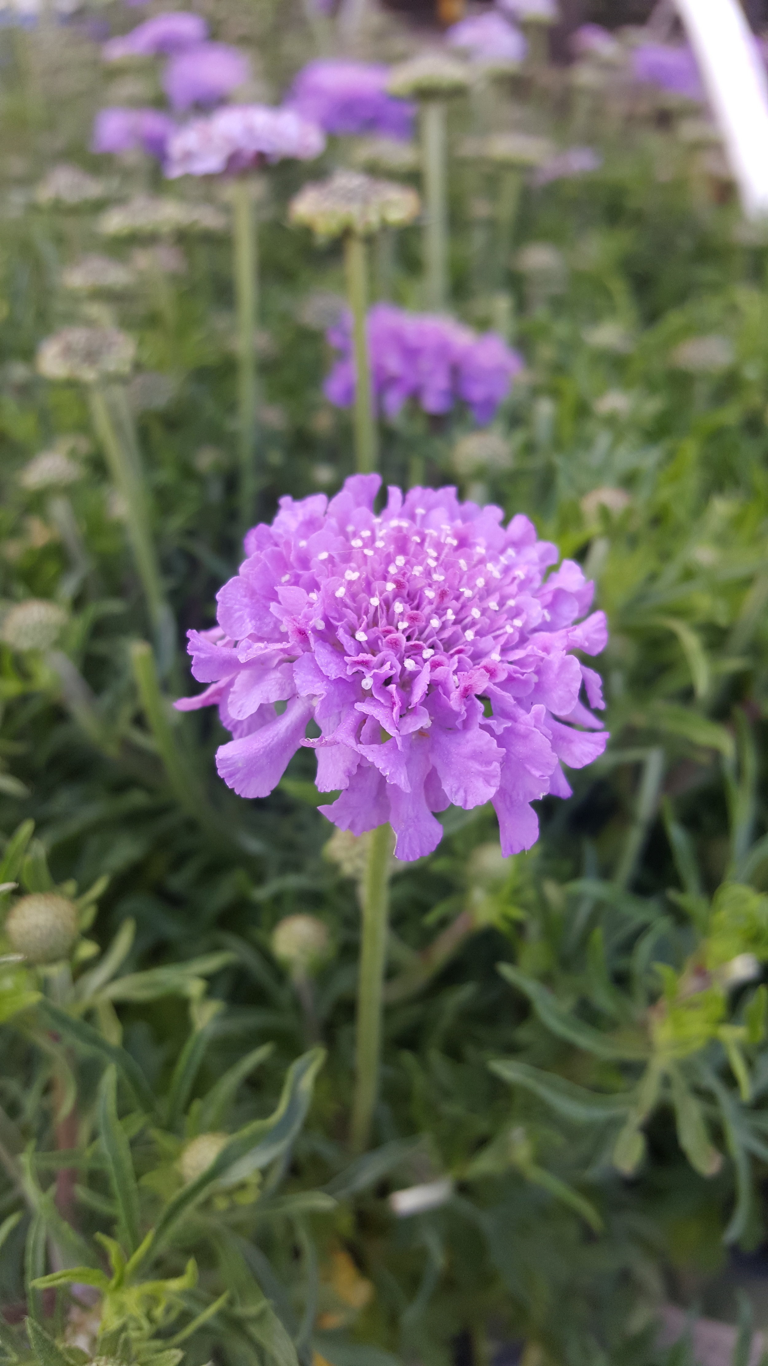 first day of spring_scabiosa_3-20-2019.jpg