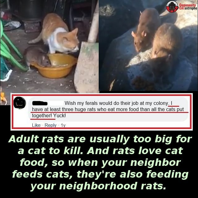 Outdoor #cathoarders like to justify feeding tons of #TNR #feralcats and #straycats by claiming they'll control rodents. Truth is piles of #cat food are piles of rat food, and cats can't do much about it. How do you feel about feeding rat colonies on your block? #tnrfail #catsbelonginside #catsbelongindoors #catsandrats