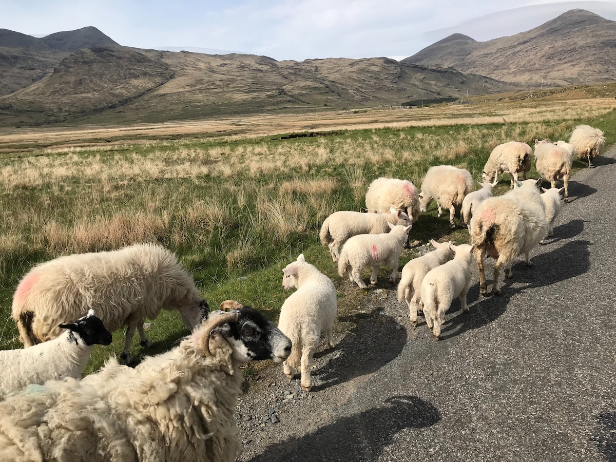 redhead-round-the-world-blogger-scotland-destinations-sheep.jpg