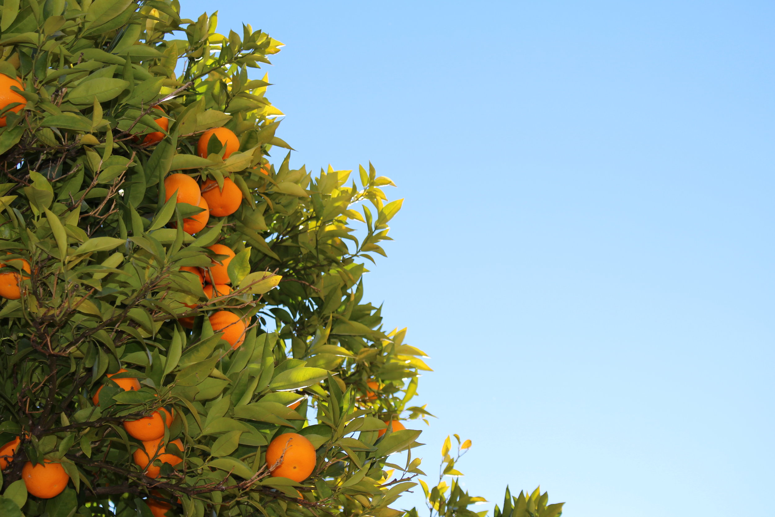 One of my favourite things about to Sevilla… the orange trees