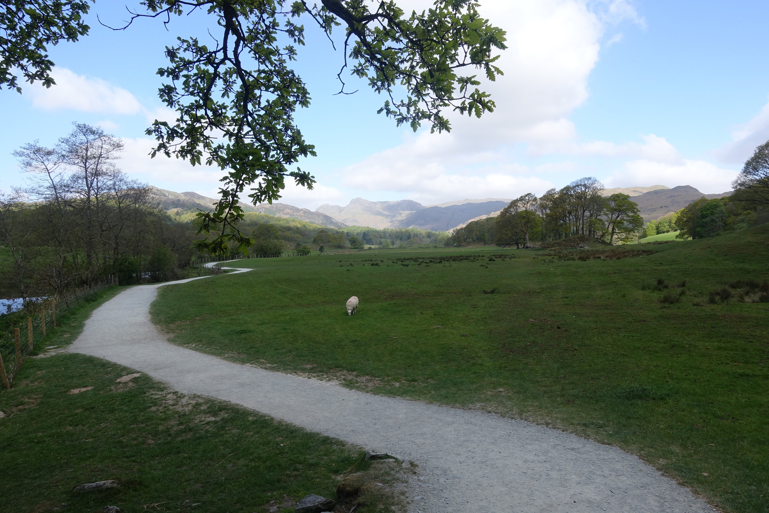 Footpath up into the Great Langdale, sheep eating grass which is how grass should be mowed