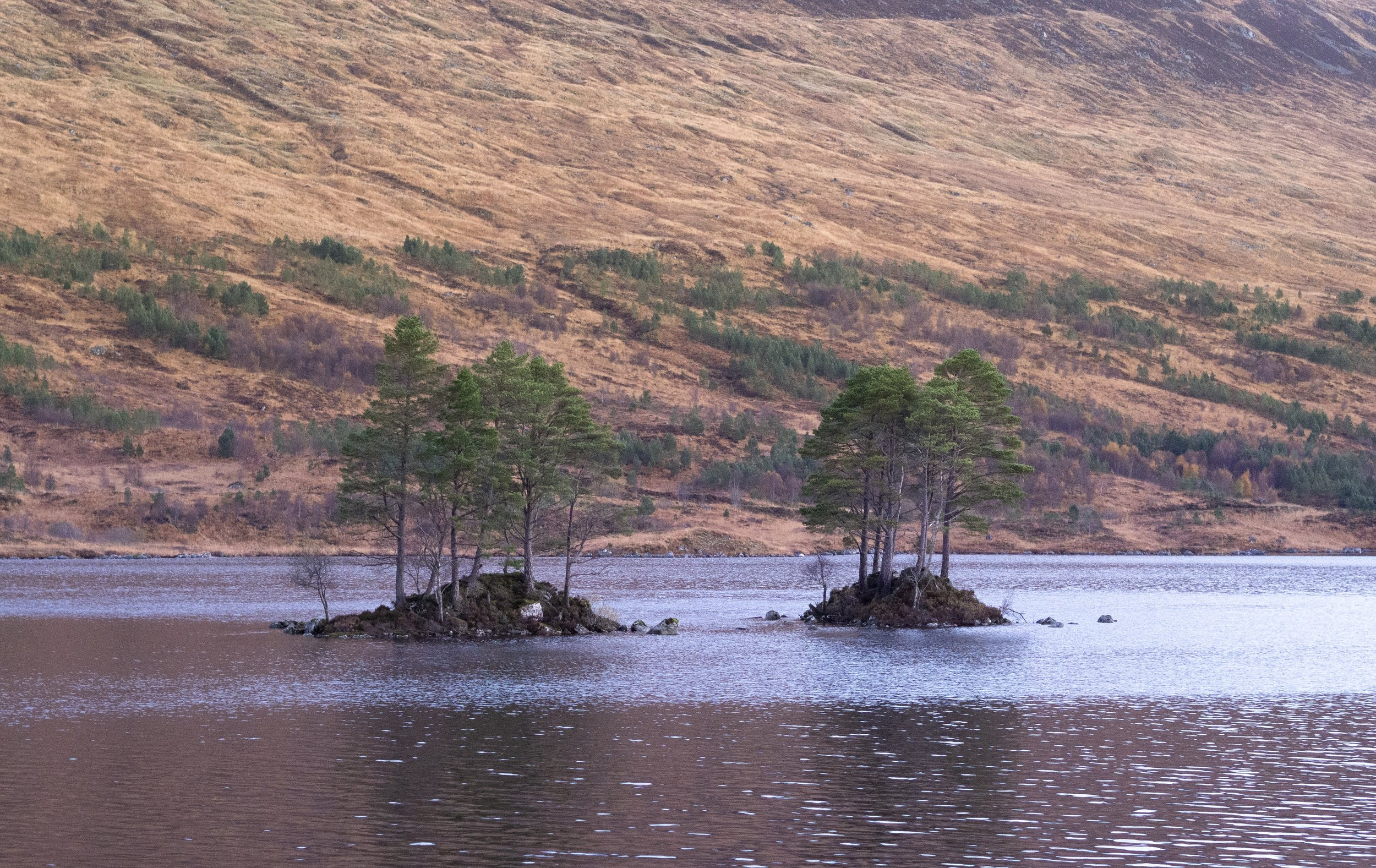 Loch Ossian, trees can survive where the deer can't get to them