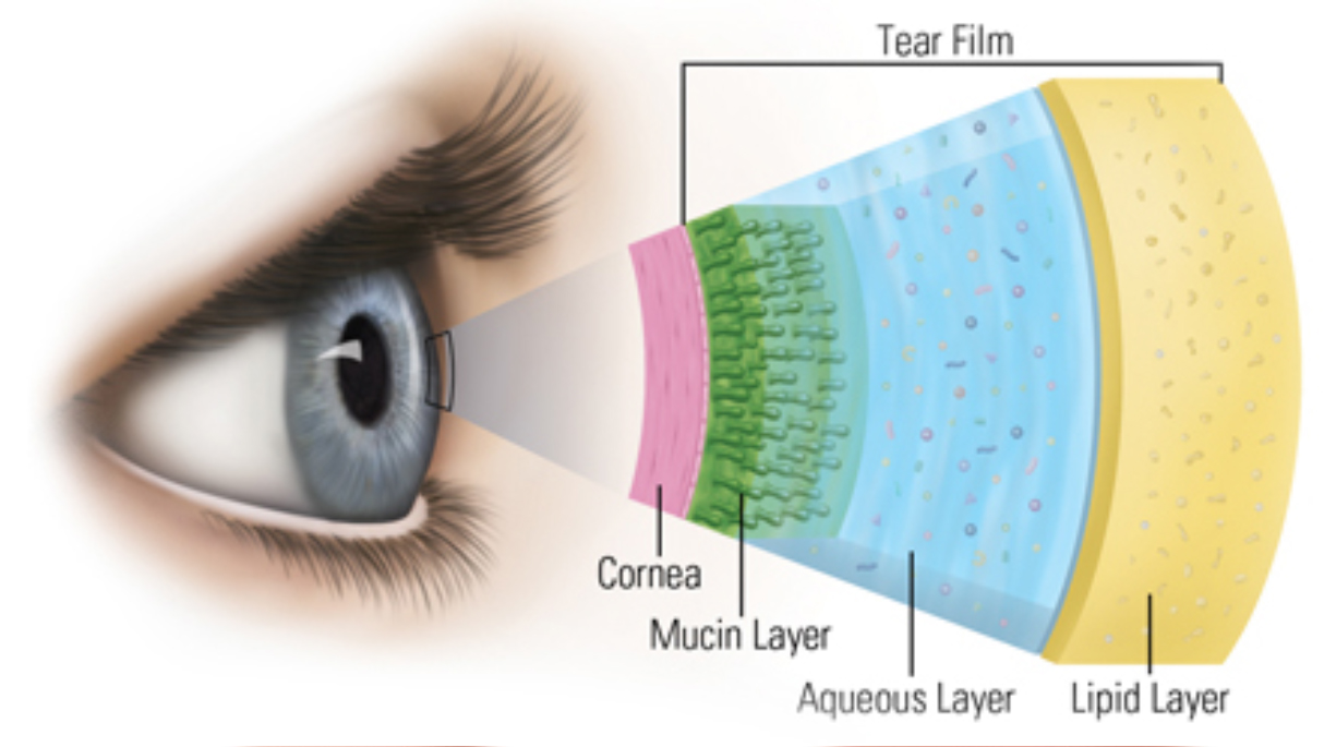 Illustration of Layer of the Cornea of the eye.