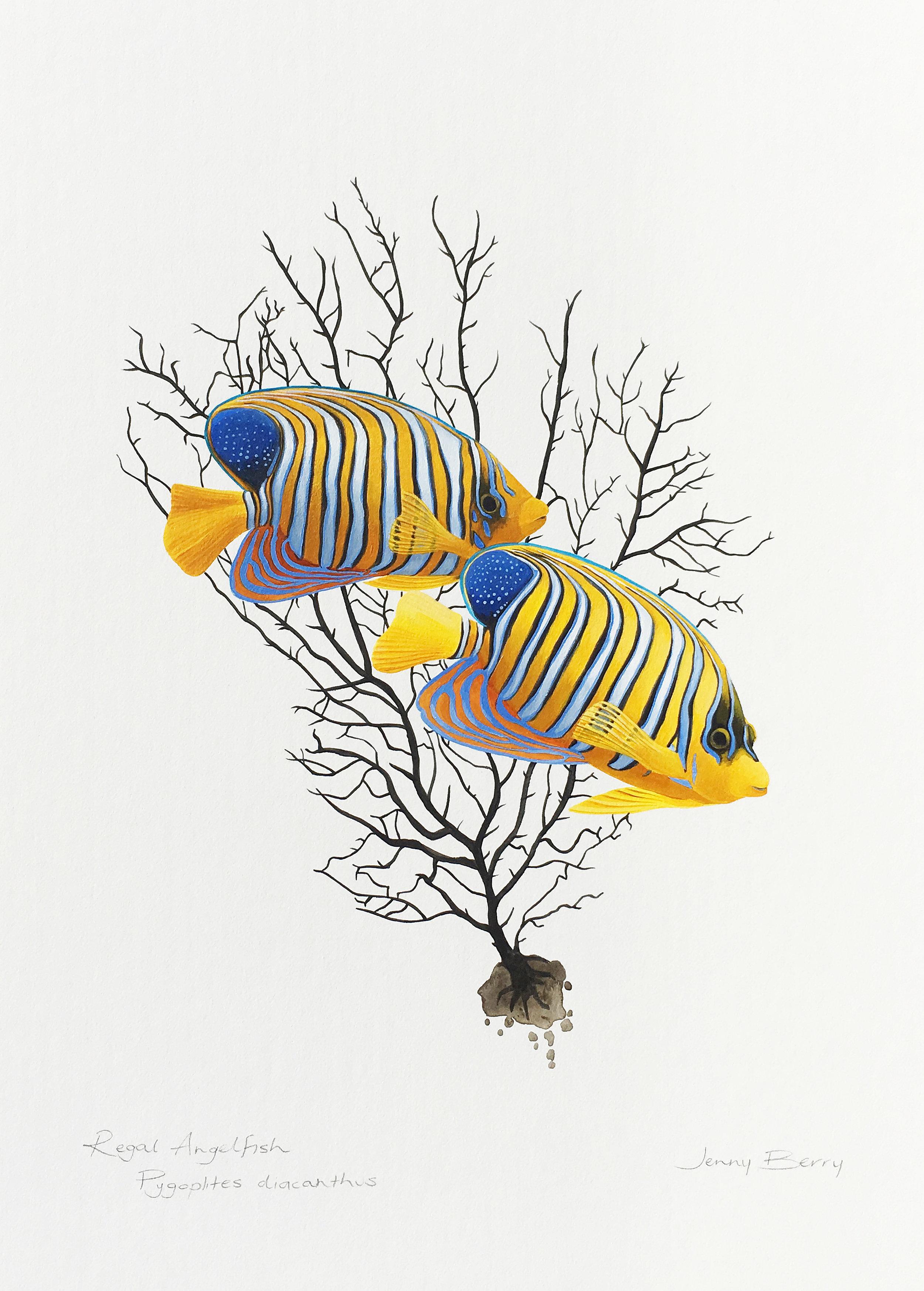 Regal Angelfish Final.jpg