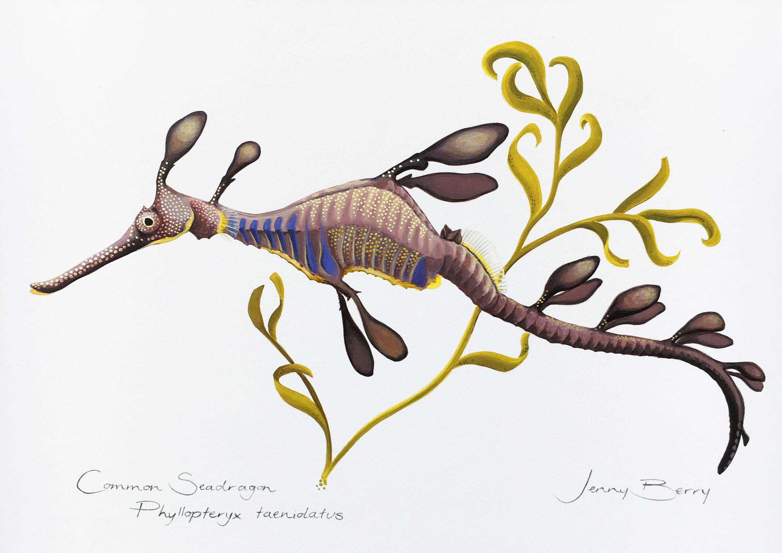 Common Seadragon final.jpg