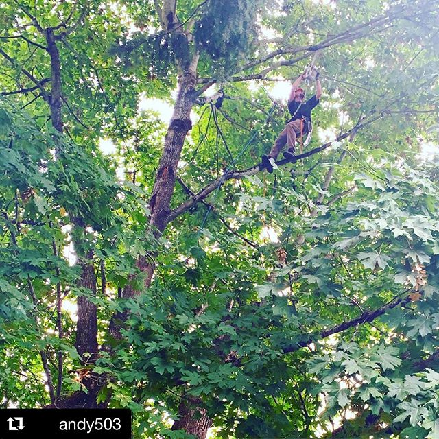 Today's @mossytreecare project, lightly pruning of a very old maple in NE Portland #perfectworkingweather  #Repost @andy503