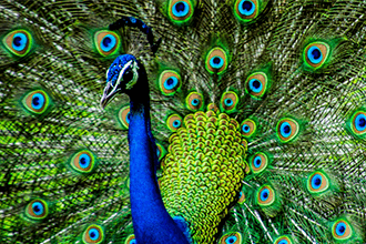 Peacock - You are such a fun person, full of light energy and easy to be with. What needs to be added is more structure.This will enable you to dig even deeper into the emotional intelligence that you were born with, the social awareness that you have.Being a Peacock energy you have a way of just knowing how to be with people. How would you like to unveil that, so you can help others.