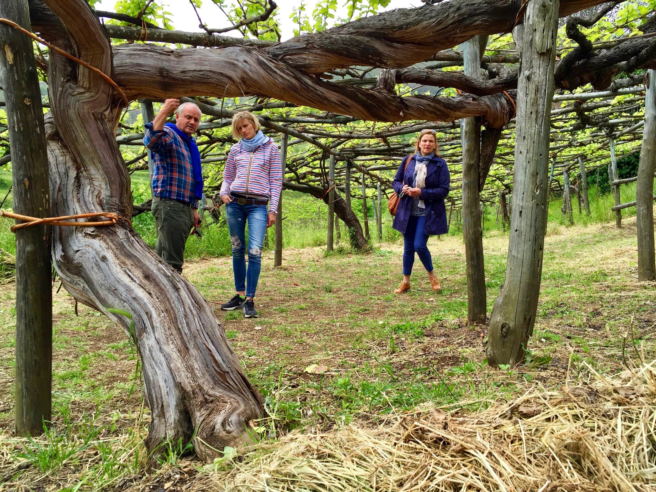 Centuries old vines - Tramonti