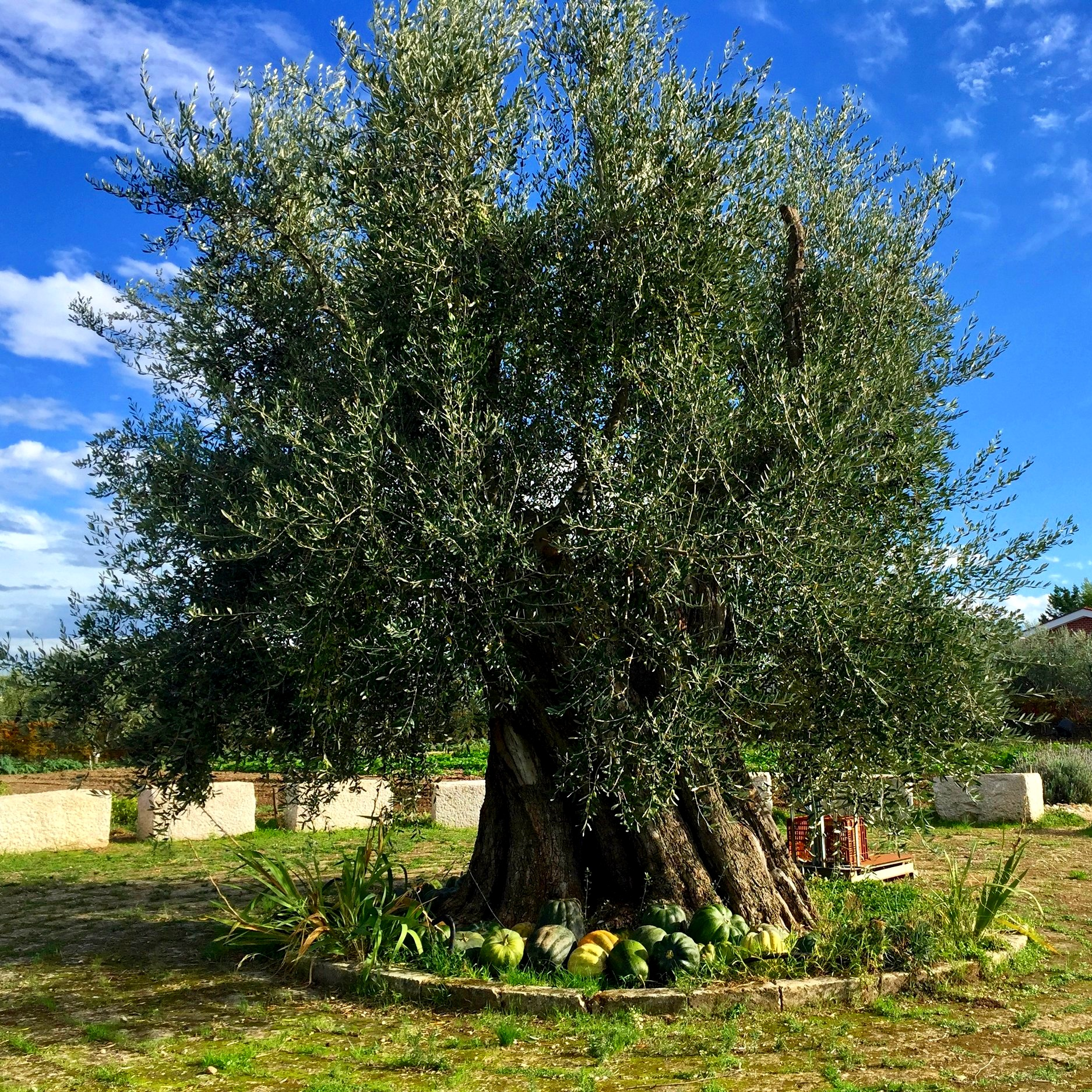 Millennial olive trees and gardens - Montegrosso