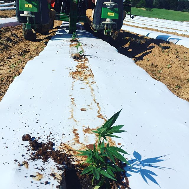 Ketners Kush in the ground.  #theboysareonfire