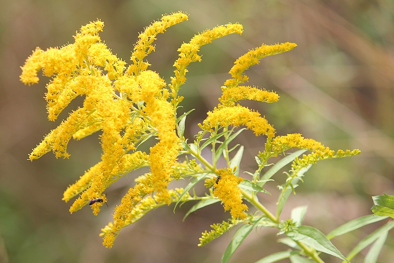 Goldenrod Respiratory Blend