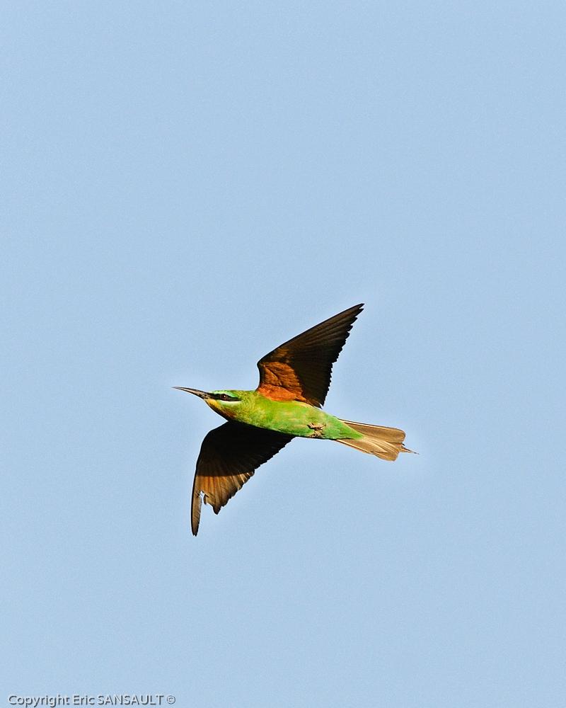 Guêpier de Perse ( Merops persicus )