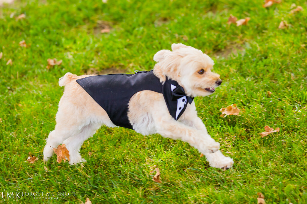 Here comes Butterscotch to crash the first look! In his tuxedo of course.