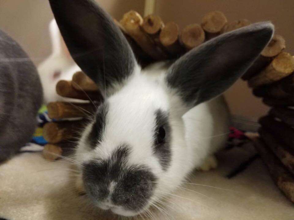 ADOPTED! Moana, sister to Merida, they come as a bonded pair. Five month old English Spot, spayed. Very friendly little bunny 😉
