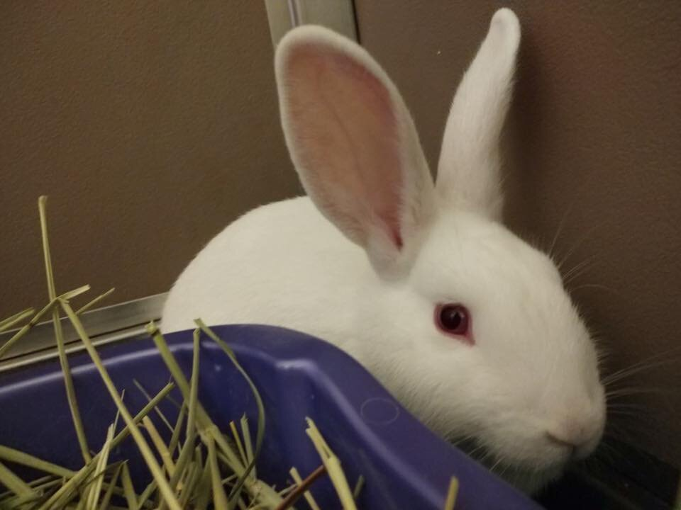 ADOPTED! Merida, sister to Moana, they come as a bonded pair. 5 months old New Zealand White, spayed. A bit shy but we're working on it!