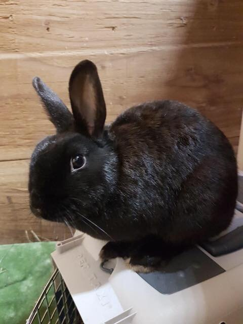 ADOPTED! Theodora is a Netherland Dwarf mix female, age unknown but on the younger side. Recently spayed, and fully litter trained. Very friendly! She will let you hold her.