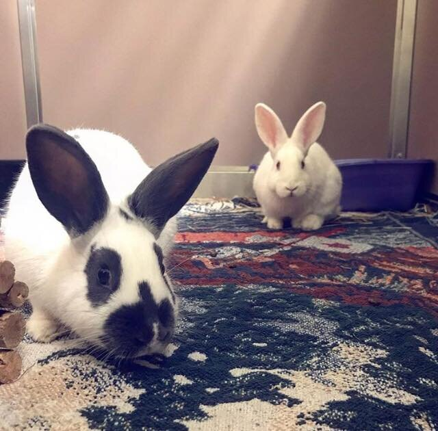 ADOPTED! Merida and Moana are two 6 month old bonded sisters, spayed, litter trained and ready to go! They are very friendly and playful and would live to find a fun-loving home with lots of enrichment. They are bonded so must remain together forever. They are very happy bunnies!