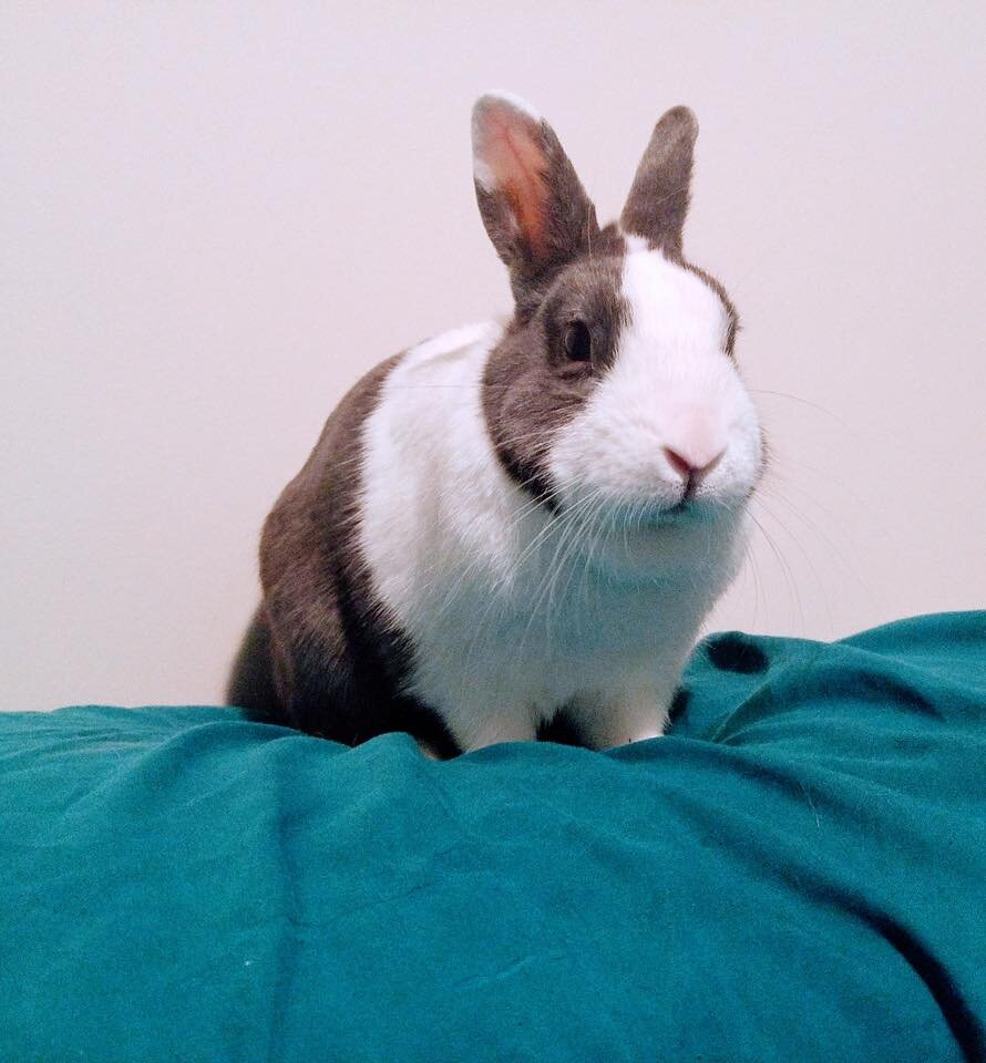 ADOPTED! Winston is a Mini Dutch, and just about the most chill rabbit you'll ever meet! He unfortunately lost his wife, Clementine, earlier this year - but is ready to be back on the market! Winston loves laying back on the couch and watching TV, and is ready to find his new mate. Winston is approx. 6 years old, and is used to being around cats, and friendly small dogs. He is used to having free-range of the house, with a nice space to call his own when he gets tired. He would preferably go to a home where he has free-run of the house! He is litter trained.