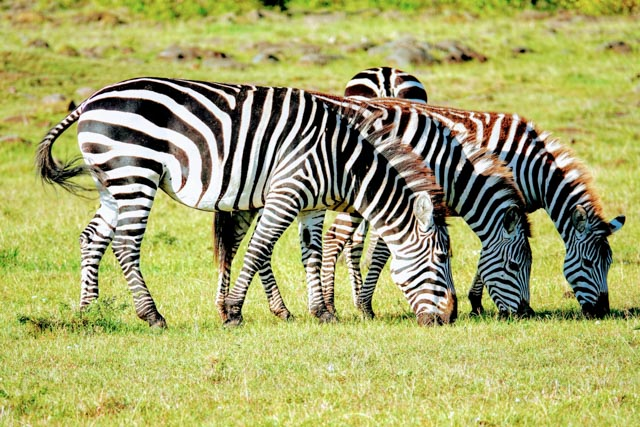 Herds of zebra abound.