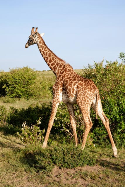 … home to many endangered species like the Reticulated Giraffe.