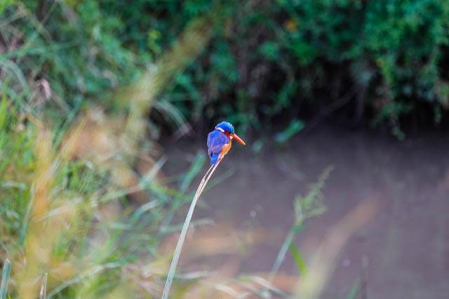 … dazzling Malachite kingfishers, …