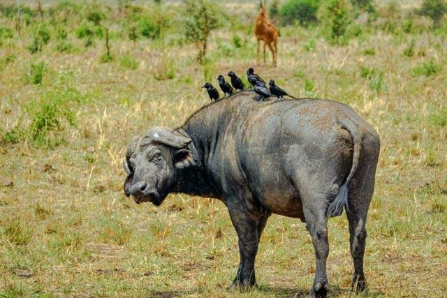 Oxpeckers catch a ride on a lone buffalo bachelor.