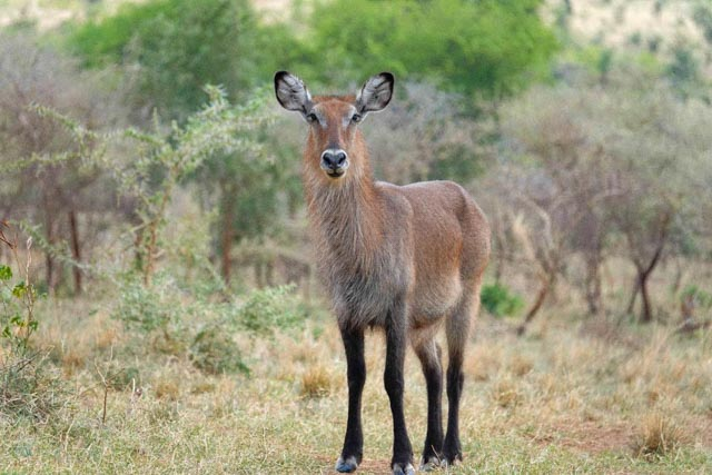 Where there's water, there's waterbuck.