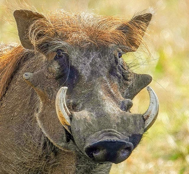 Warthogs never fail to amuse.