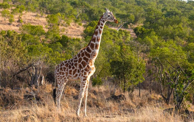 For example, what is this giraffe staring at?