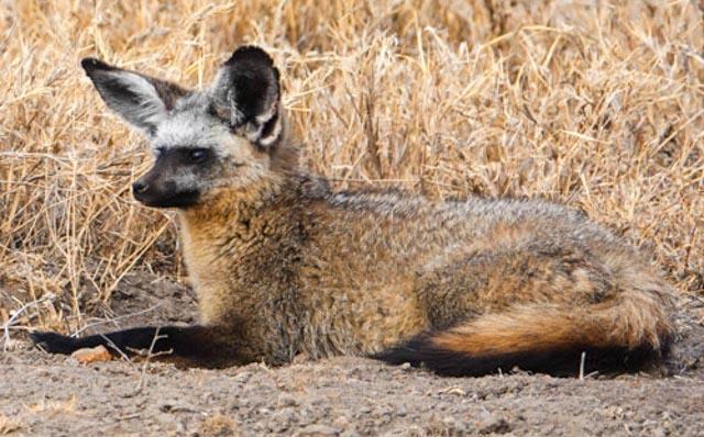Enjoy a rare sighting of bat-ear fox…